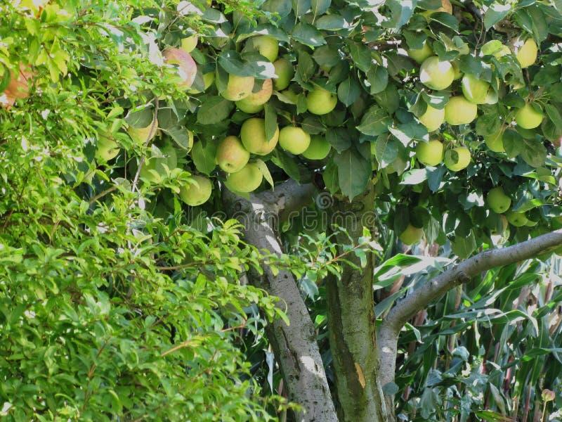 Äpplen på trädfilialer och granatäppleträd arkivfoto