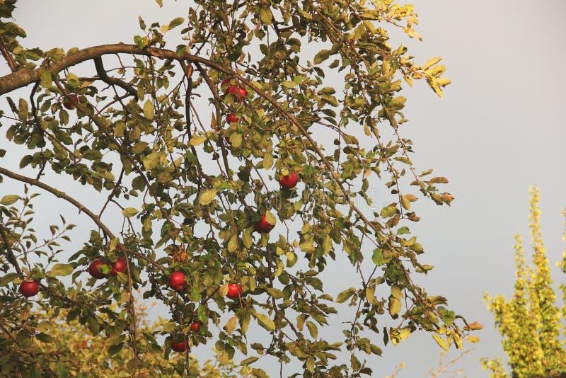 Äpplen på treen Höst fotografering för bildbyråer