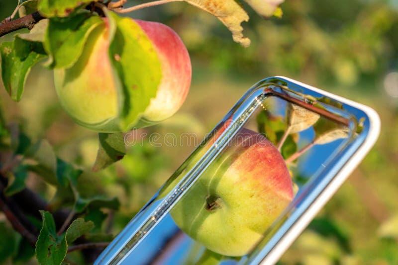 Äpplen skördar röda och gröna organiska äpplen och sidor reflekterade i spegeln Nya mogna äpplen på ett träd i en trädgårdsommar arkivfoton