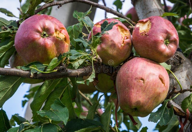 Äpplen som är skadade vid hagelstormen royaltyfria foton