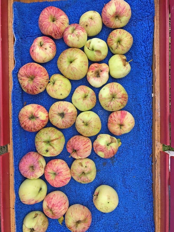 Äpplen som skördas och förläggas i röd vagn fotografering för bildbyråer