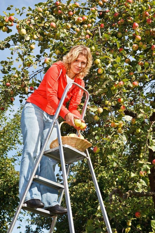 äpplen som väljer kvinnan royaltyfria foton