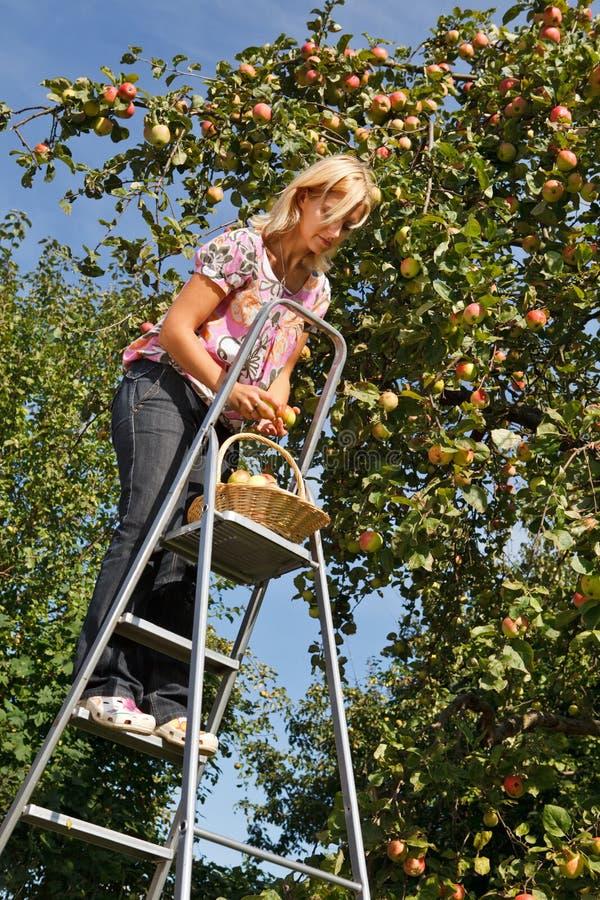 äpplen som väljer kvinnan royaltyfria bilder