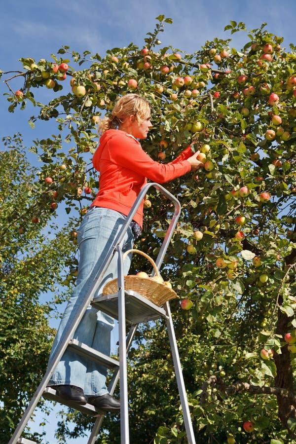 äpplen som väljer kvinnan arkivbild