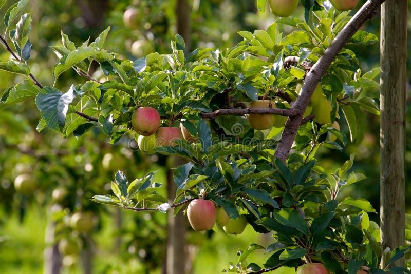 äpplen som växer den röda treen arkivbilder
