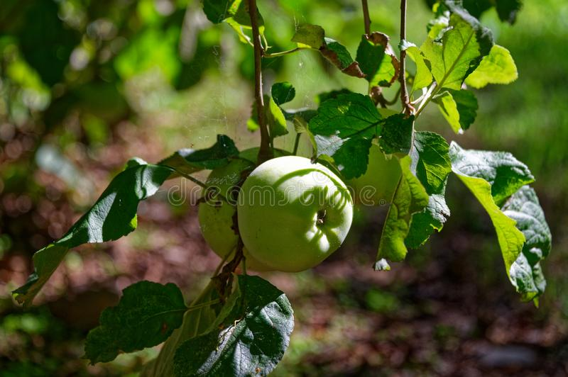 Äpplen som växer i en hem- trädgård arkivfoton