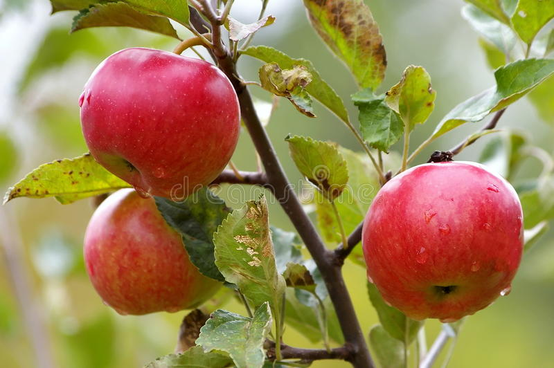 äpplen tre royaltyfria foton