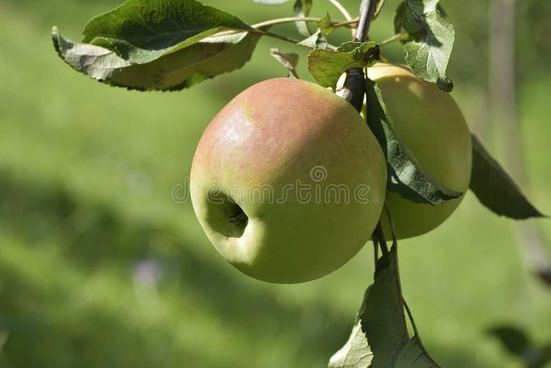 Äpplena på äppleträdfilial arkivbild