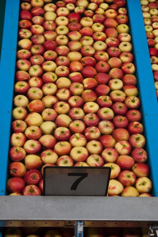 äppleproduktion fotografering för bildbyråer
