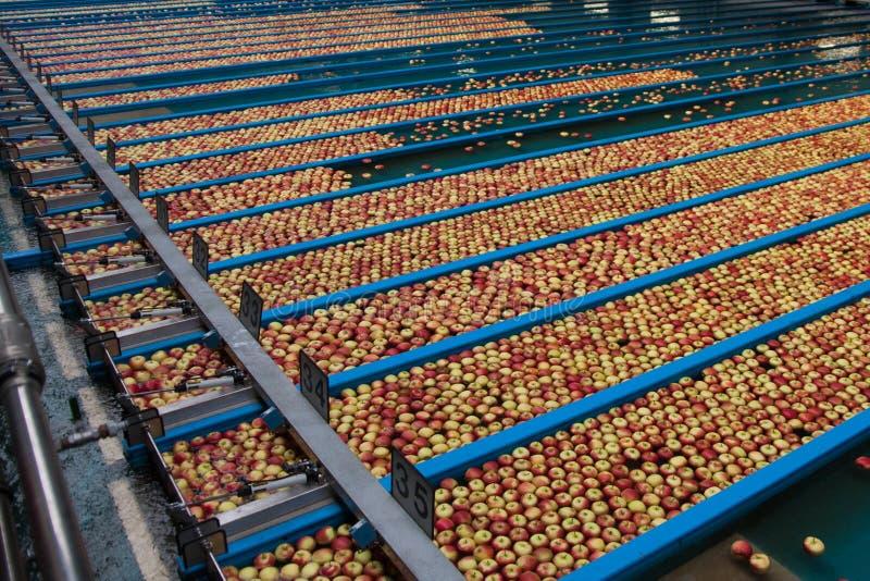 äppleproduktion royaltyfria bilder