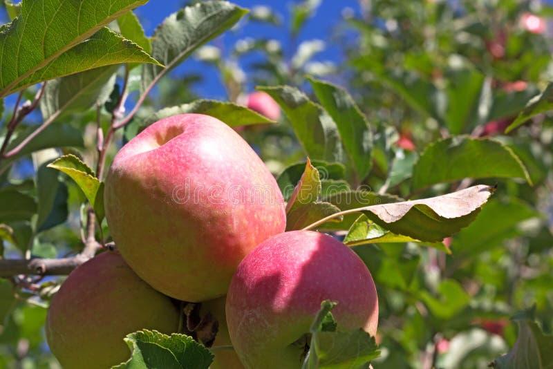 Äppleskörd i trädgården fotografering för bildbyråer