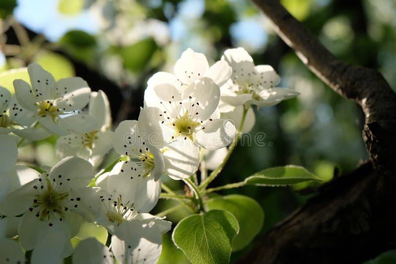 äpplet blommar treen arkivbilder
