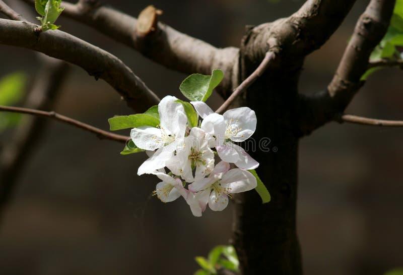 äpplet blommar treewhite arkivfoto