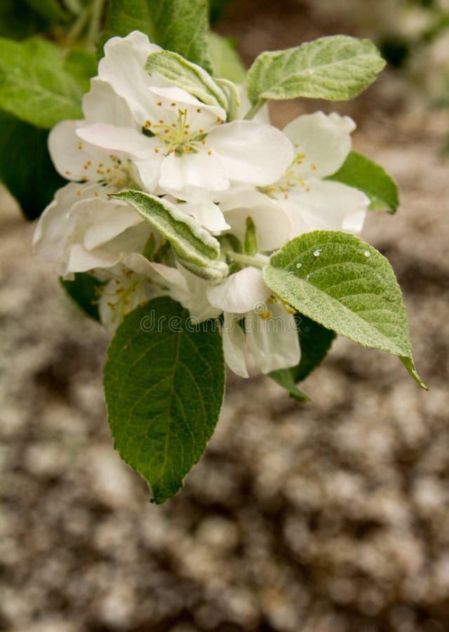 äpplet blommar white Härliga blomningäppleträd arkivbild