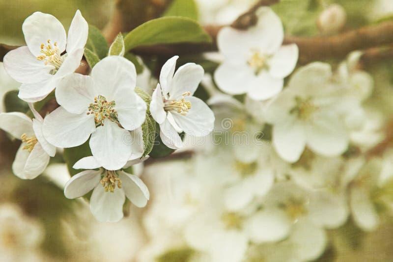 äpplet blomstrar fjädern royaltyfria foton