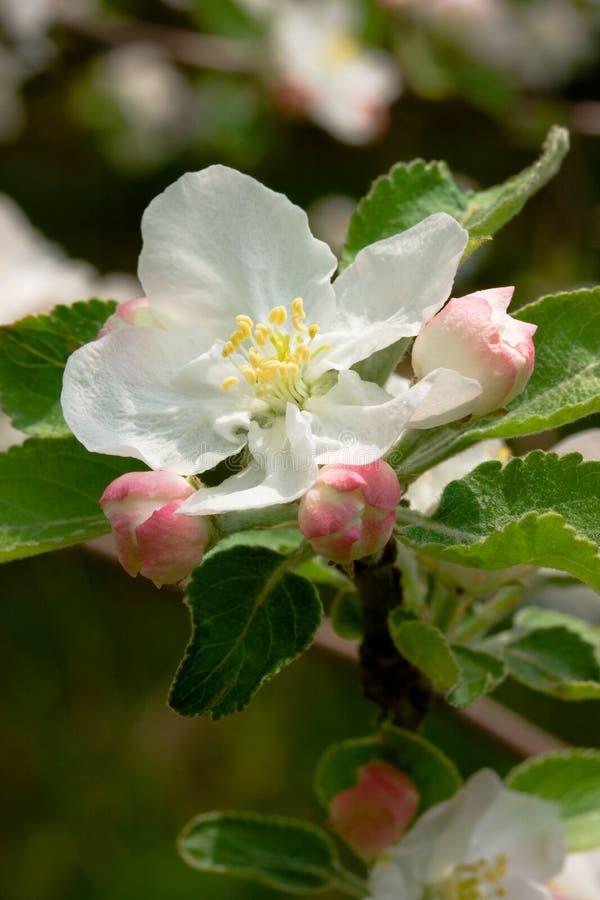 äpplet blomstrar fjädern arkivbild