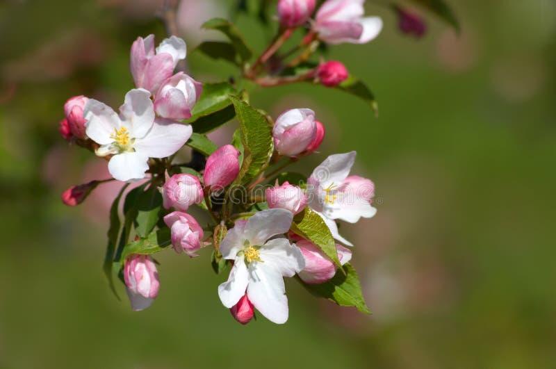äpplet blomstrar pinkish white royaltyfri foto