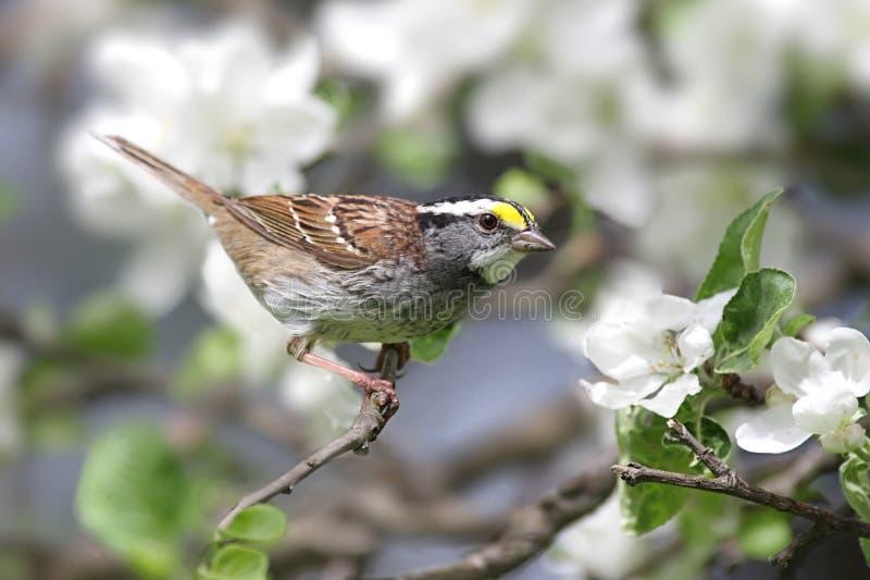 äpplet blomstrar throated white för sparrow royaltyfri bild