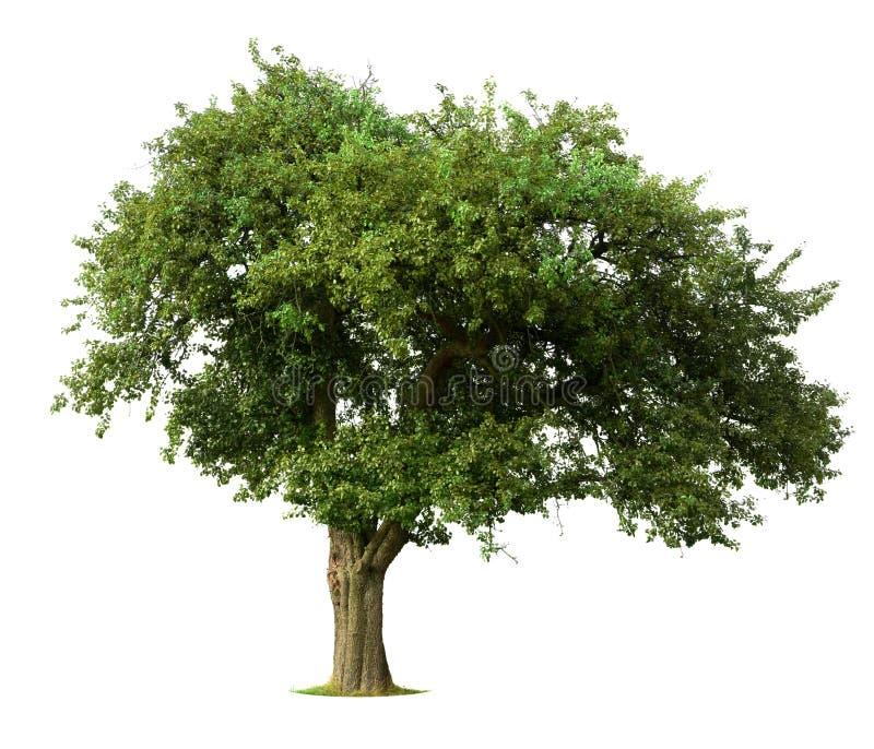 äpplet isolerade treen royaltyfri bild