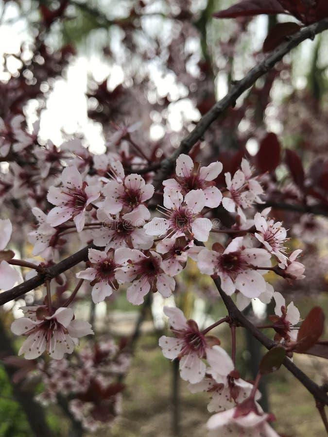 Äppleträden har blomstrat royaltyfria bilder