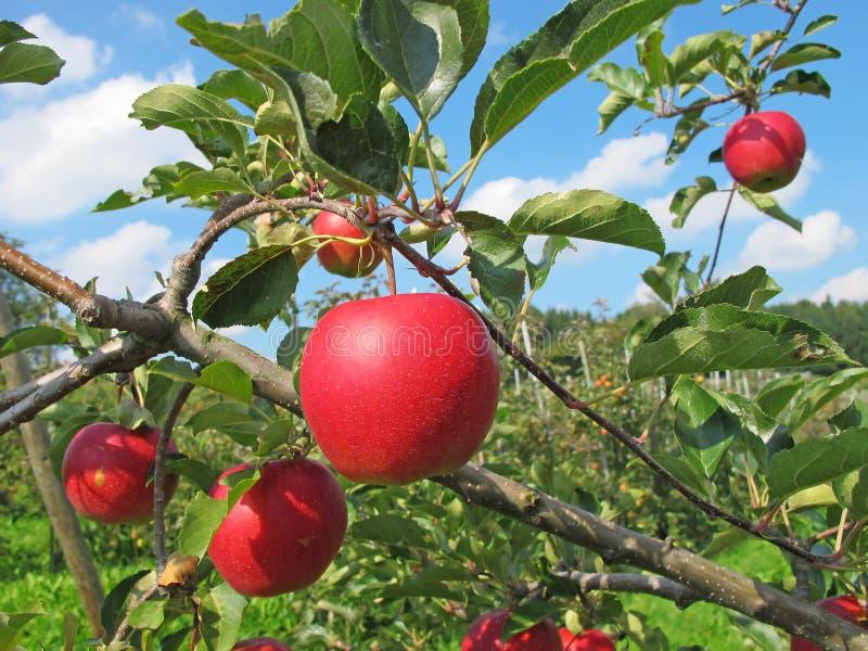 äppleträdgård fotografering för bildbyråer