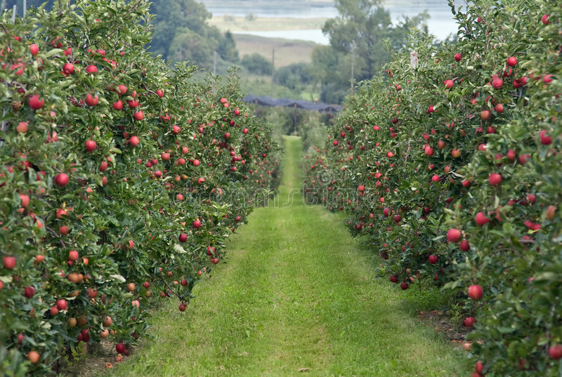 äppleträdgård royaltyfria foton