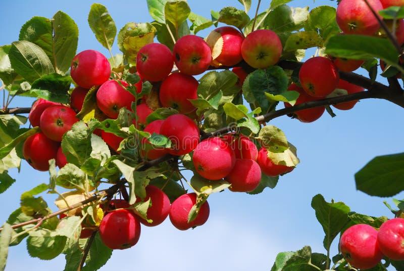 äppletree arkivfoton
