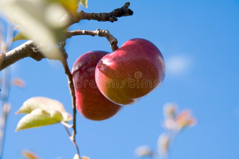 Download äppletree arkivfoto. Bild av hälsa, matar, lantgård, fall - 286184