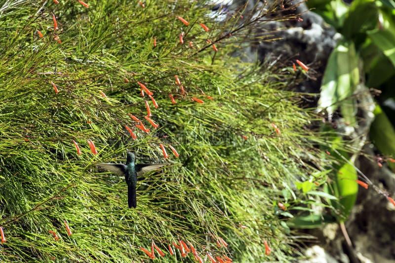 Är den kubanska smaragden för flyget/Chlorostilbon Ricordii art av kolibrin - mannen, Varadero, Kuba royaltyfria foton