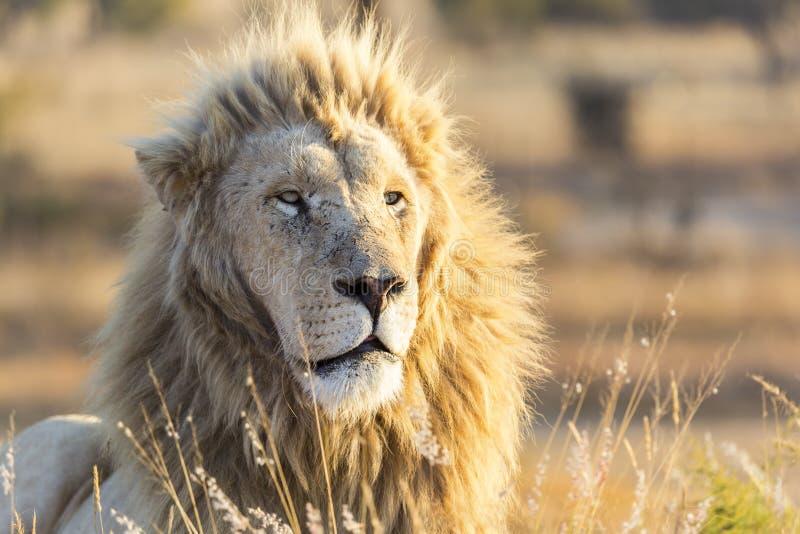 är det manliga vita lejonet för fångenen med det vita intensiva ögon arkivbild