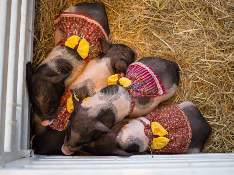 Är gulliga fyra dvärg- svin, små avel av det inhemska svinet med den utsmyckade röda klänningen och det gula bandet som sover i e arkivfoto