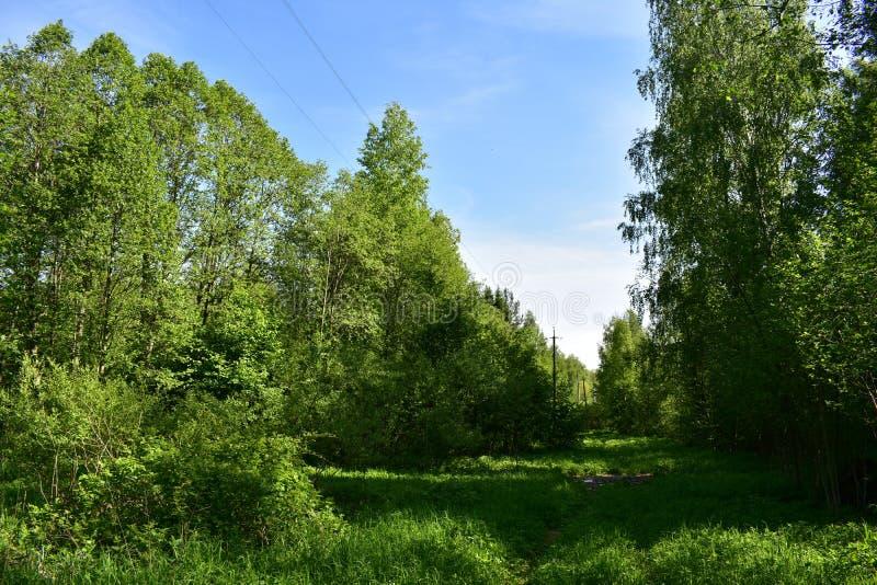 Är lövskogen för blå himmel för den Forest Sunny gläntan markant olik från det barrträds- utseendemässigt, mångfald av växten royaltyfri foto
