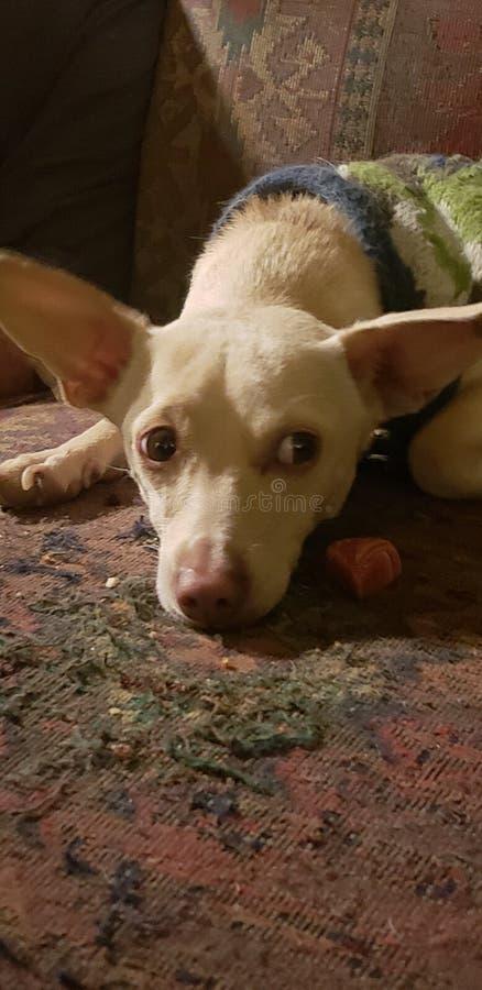 Är mina öron för stora? royaltyfri foto