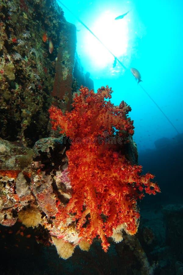 Är mjuk korall för orange färg över haverinamnet SS Thistlegorm royaltyfria bilder