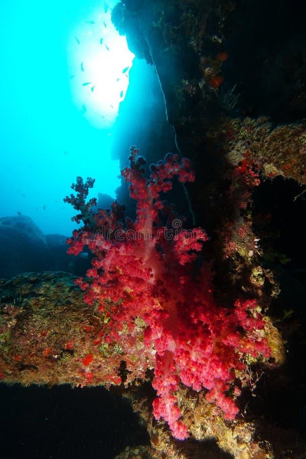 Är mjuk korall för röd färg över haverinamnet SS Thistlegorm royaltyfri fotografi