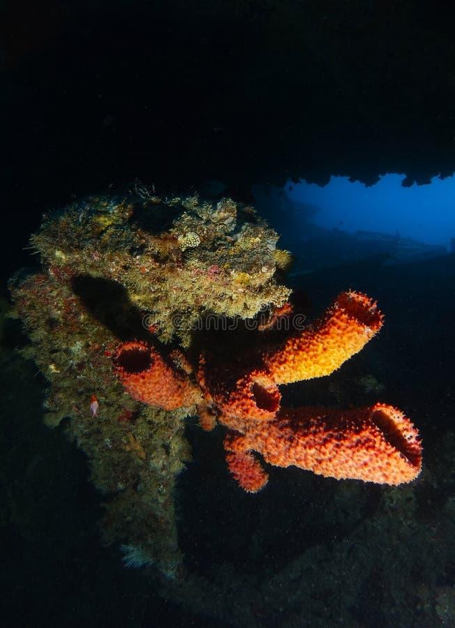 Är mjuk korall för röret inom haverinamnet SS Thistlegorm fotografering för bildbyråer