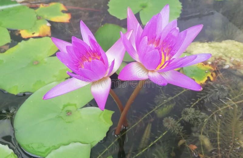 Är rosa lotusblomma två i dammet royaltyfria bilder
