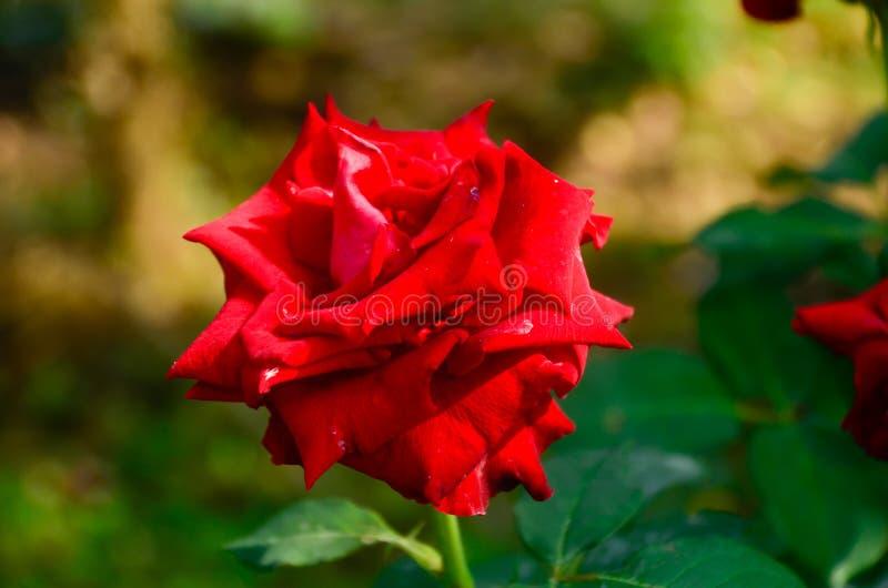 Är steg ett symbol av förälskelse och romans Legenden har det som den bestämda rosen är en faktisk framställning av födelsen av g arkivbilder