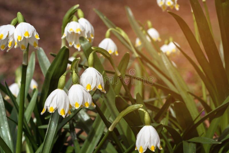 Är vita blommor för den underbara våren snödroppar med strålar av solen arkivbild