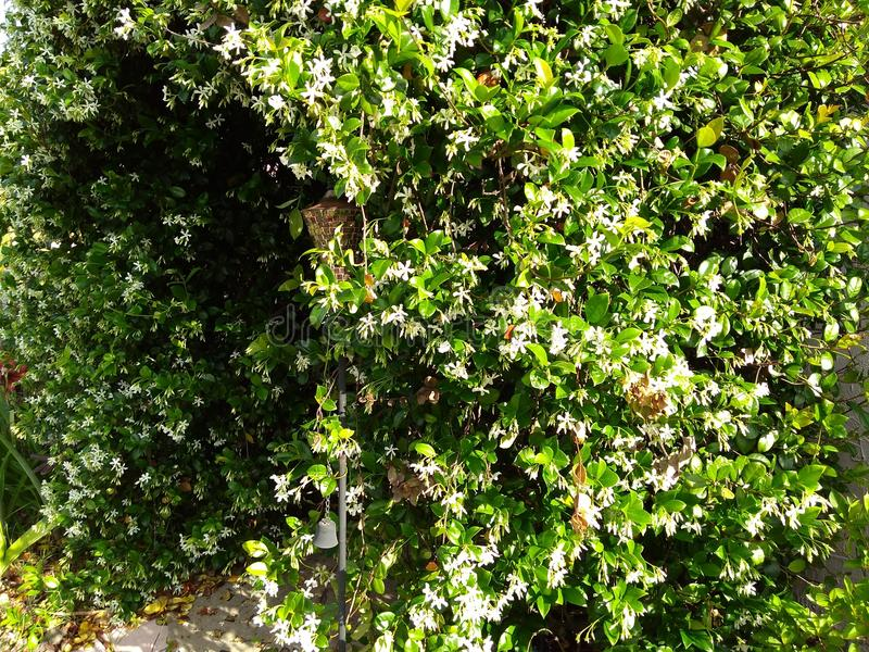 ärke- väg av den vita blomningjasminvinrankan royaltyfri fotografi