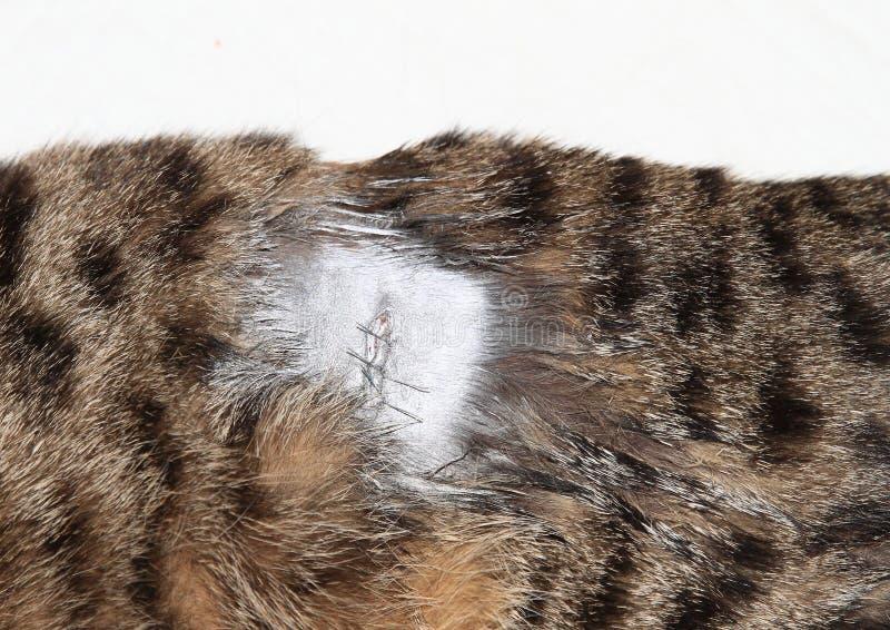 Ärr på strimmig kattkatt efter kirurgi royaltyfri fotografi