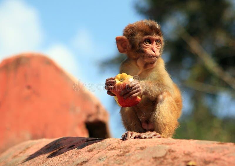 äta apan fotografering för bildbyråer