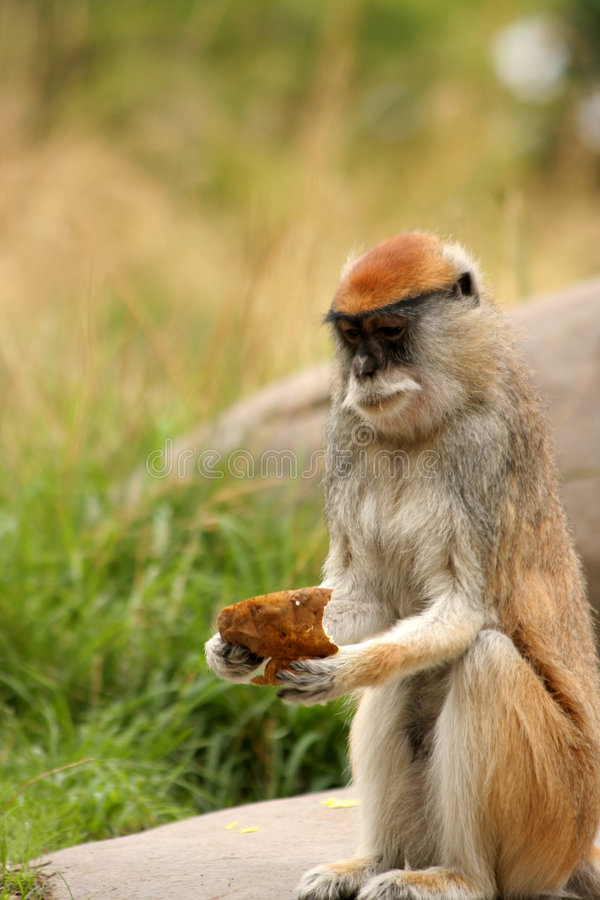 äta apapatas fotografering för bildbyråer