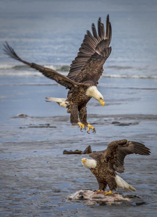 Äta as för två skalliga Eagles arkivbild