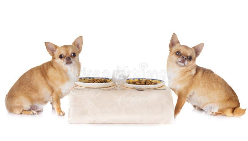Äta chihuahuas i studio fotografering för bildbyråer