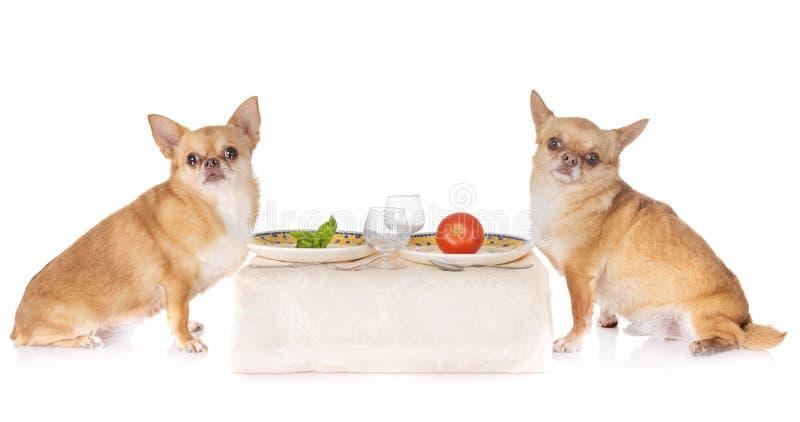 Äta chihuahuas i studio royaltyfria foton