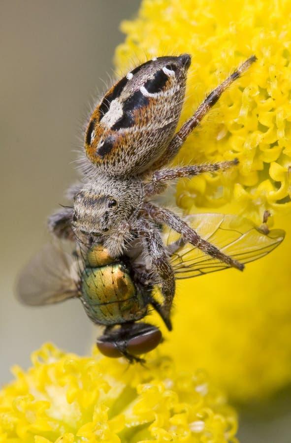 äta den klipska spindeln arkivbilder