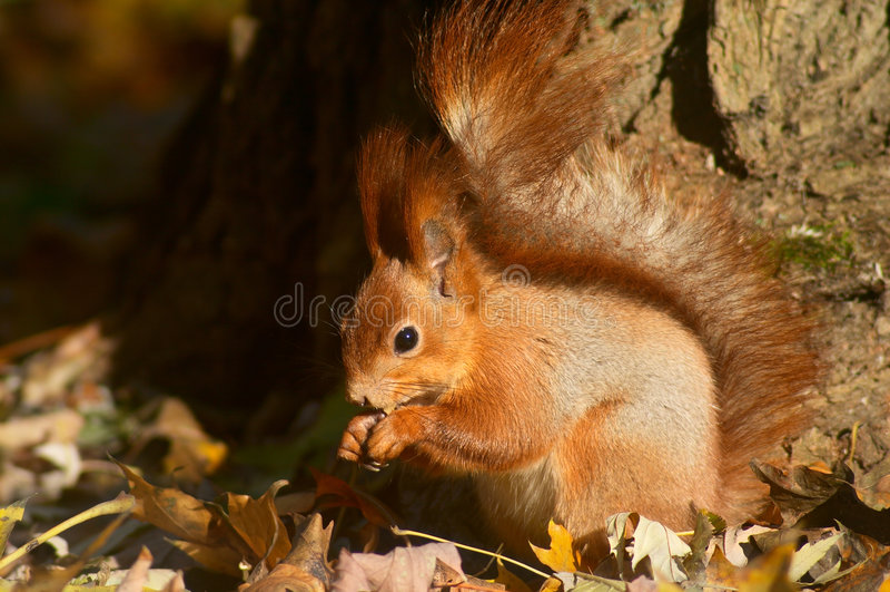 äta den röda ekorren royaltyfria foton