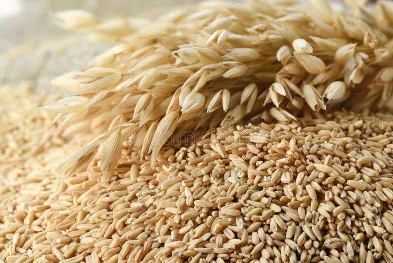 äta för begrepp som är sunt Hela korn av havre och havrespik arkivbild