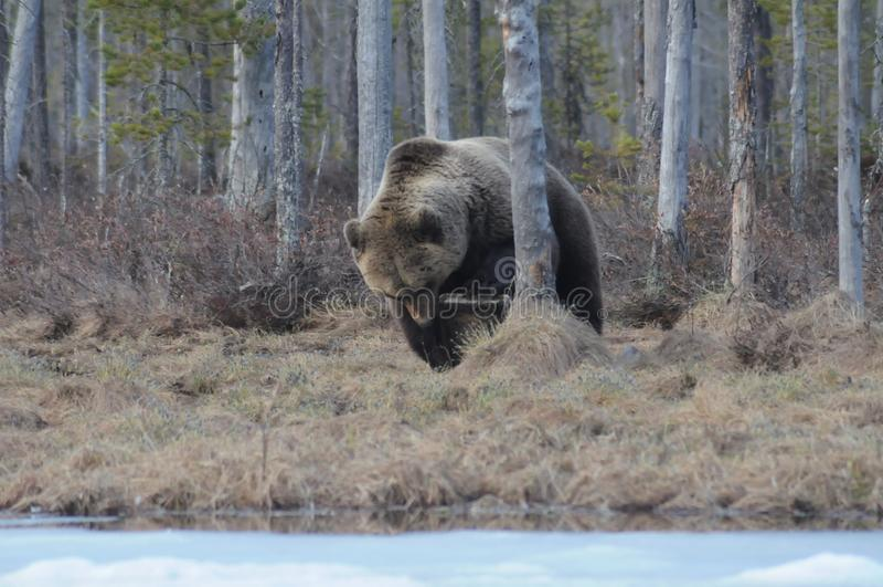 Äta för björn arkivbild